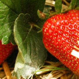 Saison 2019 – fraises en libre cueillette